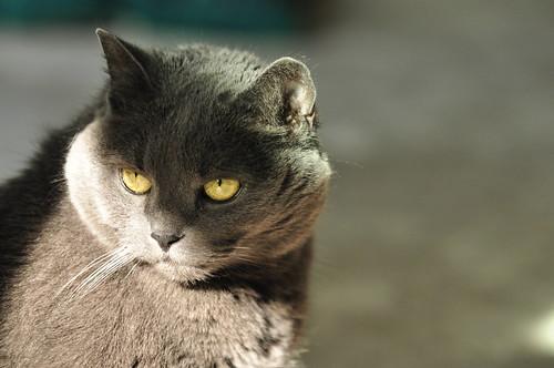 gatto certosino descrizione