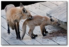 Foxie Mama & Mystery Kit (Tundra Winds Images by Donna) Tags: colorado wildlife kit vixen redfox vulpesvulpes wildcanids
