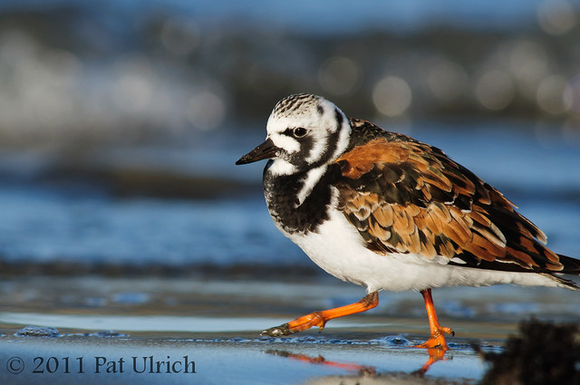 Ruddy turnstone on wet sand - Pat Ulrich Wildlife Photography