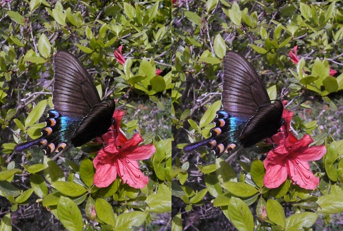 Papilio maackii, stereo parallel view