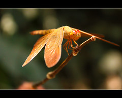 Who said only Harry Potter looked good on a broomstick! (kissoflif3) Tags: sunlight macro green nature eyes dragonfly harrypotter sunlit broomstick matheran flyingdragon sunlitdragonfly