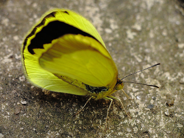 Borboletinha amarela - Yellow Butterfly - (Lepidoptera)