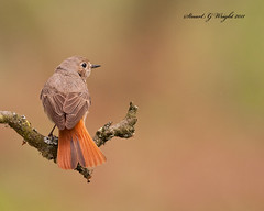 Female redstart (Stuart G Wright Photography) Tags: bird birds g wildlife stuart cannock chase wright redstart staffs