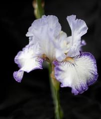 flowers- Iris