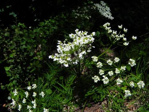 Chérophylle doré=Chaerophyllum aureum - Planfait 041