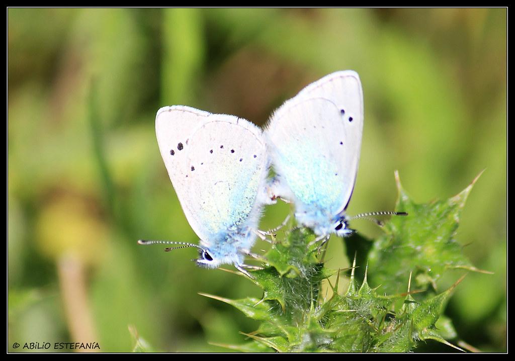 Mariposas copulando