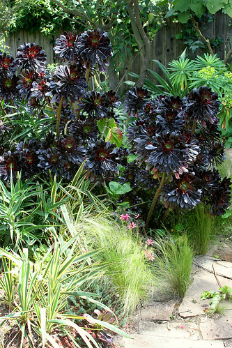 nice aeonium zwartkopf swath