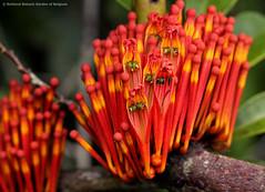 Phragmanthera crassicaulis (zimbart) Tags: africa flowers drcongo loranthaceae boyekoliebale phragmanthera phragmantheracrassicaulis