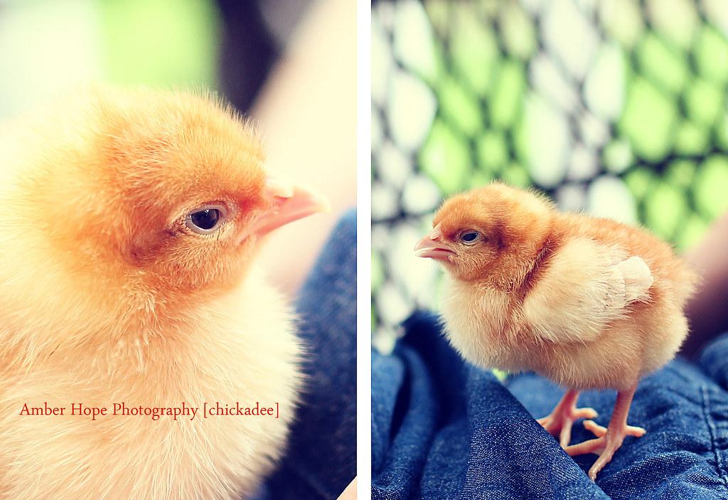 Blog 01 chickadee