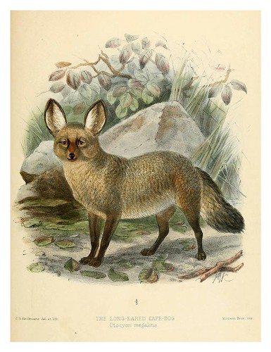 014-Perro del Cabo de orejas largas-Dogs jackals wolves and foxes…1890- J.G. Kulemans