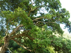 """Quercus Suber """"Cork Oak"""" • <a style=""""font-size:0.8em;"""" href=""""http://www.flickr.com/photos/61957374@N08/5850333332/"""" target=""""_blank"""">View on Flickr</a>"""