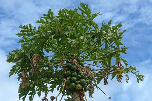 Papaya Tree at Piliani Kope Coffee Farm