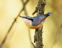 Red-breasted Nuthatch (snooker2009) Tags: redbreasted nuthatch bird nature wildlife pennsylvania fall spring migration