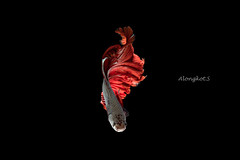 Red-Silver Siamese fighting fish, betta fish on black background. (Alongkot.S) Tags: action aggressive animal aquarium aquatic background beautiful beauty betta biology blue breathing color colorful crown domestic dragon dress elegant excite exotic eye fancy fighting fin fire fish flame freshwater hobby hot image isolated luxury motion nature pet pose power red scale siamese space splendors staring swimming tail tropical white zoology