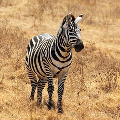 Zebra (Nicolas Bousquet) Tags: 55300 safari k3 gamedrive tanzania tanzanie zebra ngorongoro savana savane