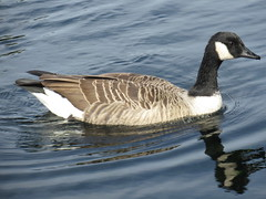 268:365, 2016, Swimming fast IMG_7548 (tomylees) Tags: chelmsford essex september 2016 saturday 24th project 365 goose