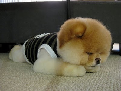 boo_Pomeranian_Dog_39