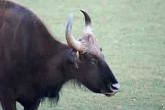 bison in Nagarhole national park (LaylaLee) Tags: park india national gandhi karnataka rajiv