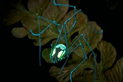 Yellow Cosmetid harvestman under uv (pbertner) Tags: blue light red cloud green yellow america forest spider ecuador amazon rainforest arachnid south uv violet reserve insects bands bellavista spinne 365 araa nm biology ultra fluorescence  markings araigne russet entomology arachnide rufous opiliones   arcnido macrolife     spinnentierlabahlabah