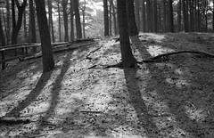 Backlit trees (the underlord) Tags: wood trees sunshine pine woodland woods shadows native conservation sunny backlit endangered upright habitat contrejour gegenlicht merseyside conservationarea kiev4 formbypoint c41process jupiter8m neopan400cn redsquirrelsanctuary believeinfilm