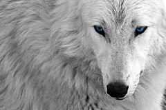 White And Blue Wolf an Edit White Wolf Blue Desktop Wallpaper Background David Gunter