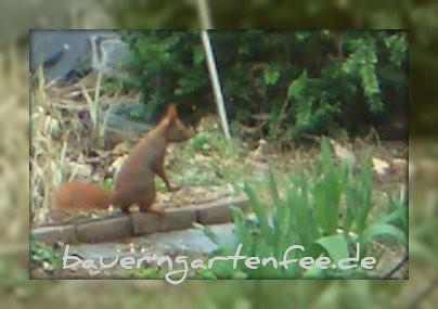 Neugieriges Eichhörnchen in unserem Garten, 6. April 2007