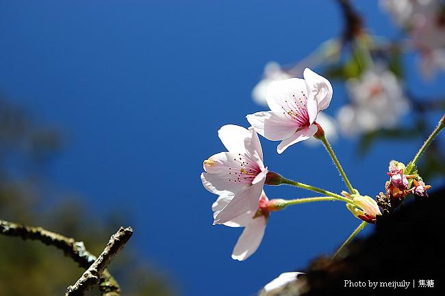 2011阿里山櫻花季晴天版06