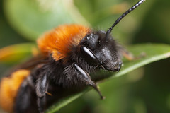 What a beautiful miner bee - Andrena fulva female #2 (Lord V) Tags: macro bug insect bee macroextreme minerbee macrolife