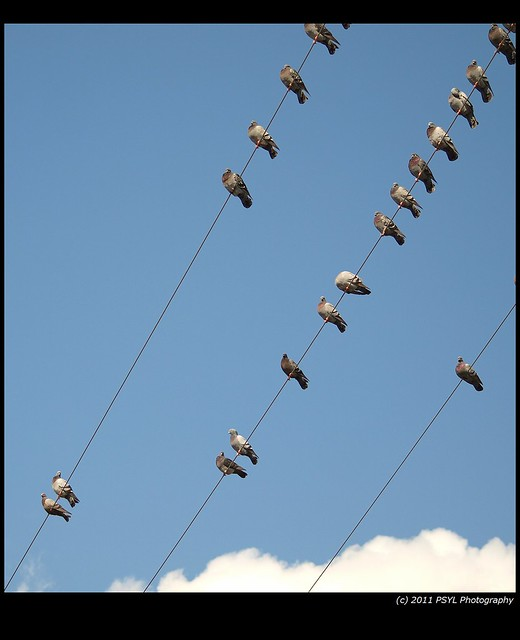 Pigeons on Wire