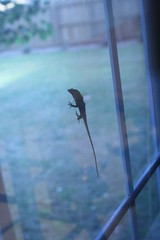 Lizard between the window and the screen