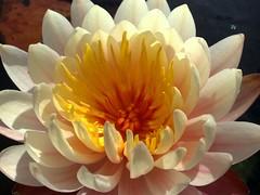 roma waterlily ninfea primaveraspringfioriflowercolorcolorin82nokia