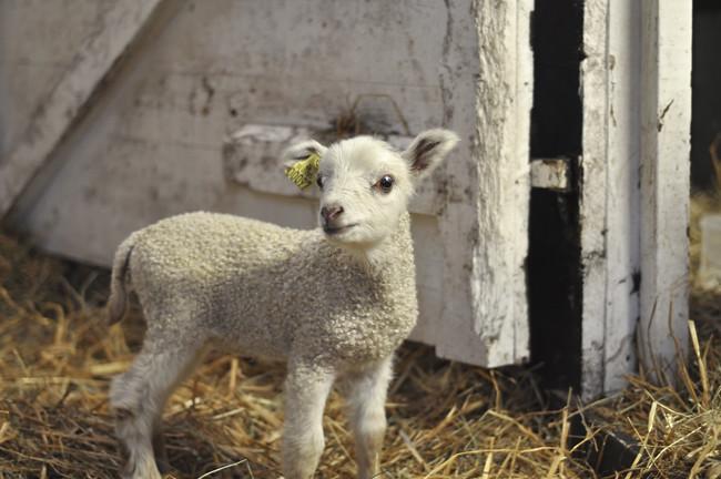 white lambi