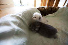 Kittens (andy.wolf) Tags: cute animal cat kitten blind small tiny newborn deaf kawai d700 1424mmf28g