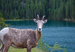 Staredown (Jim Boud) Tags: camera travel blue portrait mountain lake canada mountains tree green nature pinetree canon lens outdoors eos is nationalpark looking sheep hiking hill rocky wideangle alberta stare northamerica banff curious usm bighorn dslr ram 1785mm digitalrebel staring photoart digitalslr pinetrees efs1785mmf456isusm province artisticphotography bighornsheep canadianrockies imagestabilization rockymountainbighornsheep imagestabilized 550d jimboud t2i jamesboud eos550d kissx4