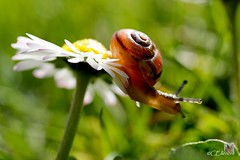 Schnirkelschnecke  / Helicidae (9) (Ellenore56) Tags: light inspiration color colour macro nature animal garden licht photo klein foto little magic natur perspective snail daisy vista environment imagination outlook helix moment midget creature makro magical farbe garten schnecke tier perspektive ecological gnseblmchen umwelt augenblick helicidae faszination cepaeahortensis lebewesen a350 cepaea schnirkelschnecke sonyalpha whitelippedsnail bnderschnecke gartenbnderschnecke dslra350 sonyalphadslra350 gartenschnirkelschnecke ellenore56 11042011