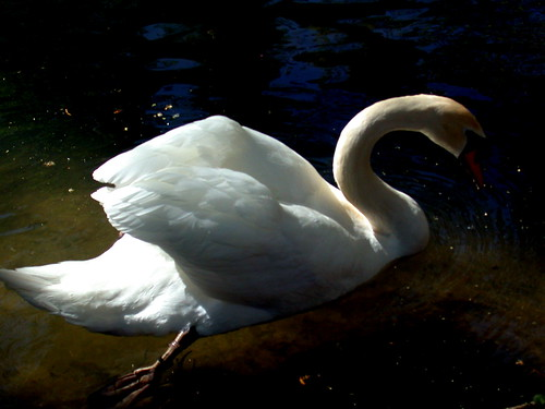 El cisne de Leda
