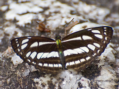 Thai Common Sailor (aeschylus18917) Tags: macro nature butterfly insect thailand nikon lepidoptera thai chiangmai nikkor pxt sailer 105mm butterfy insecta 105mmf28 nymphalidae  neptishylas  commonsailer limenitidinae  105mmf28gvrmicro 105mmf28vrmicro neptis d700 nikkor105mmf28gvrmicro  ratchaanachakthai nikond700 danielruyle aeschylus18917 danruyle druyle