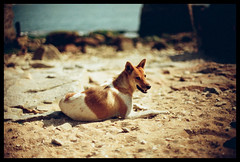 Sunbath (Lefty Jordan) Tags: summer hk dog sunlight film beach hongkong sand day dof bokeh agfa vista100 f3hp 50mmf12