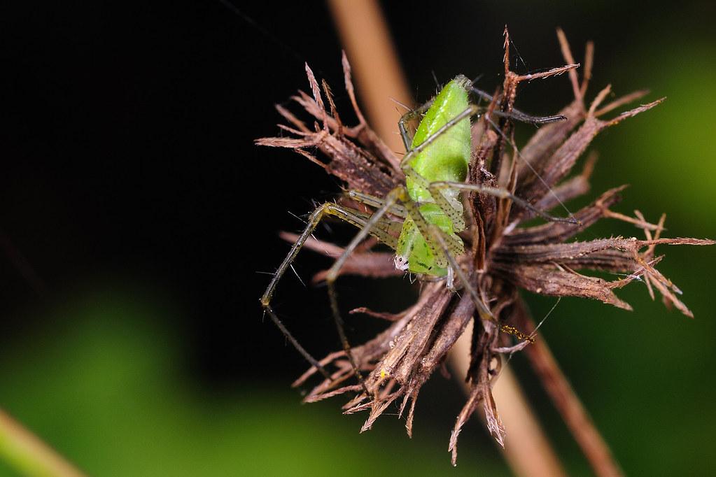 台灣綠貓蛛(雌) Peucetis formosensis