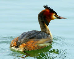 Water off a Grebe's back! (SteveJM2009) Tags: uk light colour detail water beauty closeup droplets spring head beak feathers hampshire april ripples grebe plumage stevemaskell greatcrestedgrebe hants 2011 explored hwt blashfordlakes blurredsandmartininflight