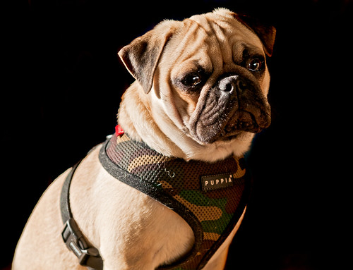 フリー写真素材, 動物, 哺乳類, 犬・イヌ, パグ,