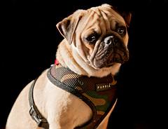 [フリー画像] 動物, 哺乳類, 犬・イヌ, パグ, 201104201100