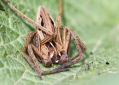 Drowsy (out in the sticks) Tags: macro spider invertebrate araneae nurserywebspider athropod chelicerata araneomorphae entelegynae pisauramirabilis pisauridae canonef100mmf28macrousm arachind canoneos50d lycosoidea specinsect macrolife