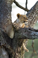Tree lion interested (Christine Lamberth) Tags: africa camera travel wild tree nature canon fur tanzania mammal nose bush eyes photographer leo wildlife lion ears christine flies paws serengeti alert claws carnivore crepuscular vulnerable panthera wildnerness tsetse felidae noctural ndutu lamberth c4images