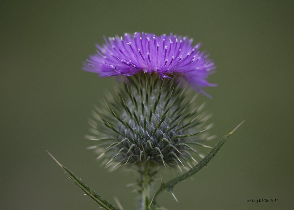 Scotch Thistle Flower