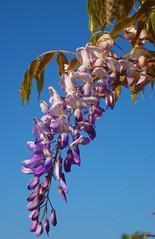Wisteria (Anna Sunny Day) Tags: wisteria