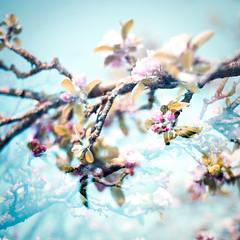 Boing! (lissyloola) Tags: pink flowers blue photoshop garden sussex spring blossom charleston charlestonfarmhouse digitaltripleexposure