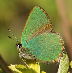 Green Hairstreak. Other Butterfly Pictures Below. (Sandra Standbridge.) Tags: butterfly insect butterflies brimstone greenhairstreak grizzledskipper