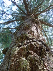 Douglas Fir Veteran Tree main trunk