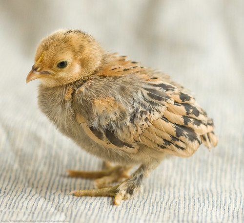 Humble Garden 2011: Infant chicks - upclose